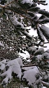20160113山の様子松に付着した雪