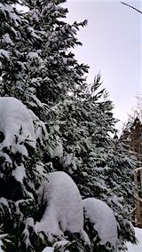 20160113山の様子杉に付着した雪