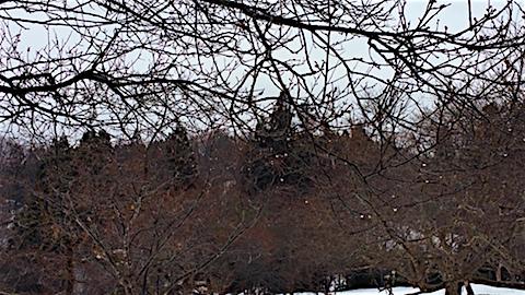 20160229山の様子花梅の木2