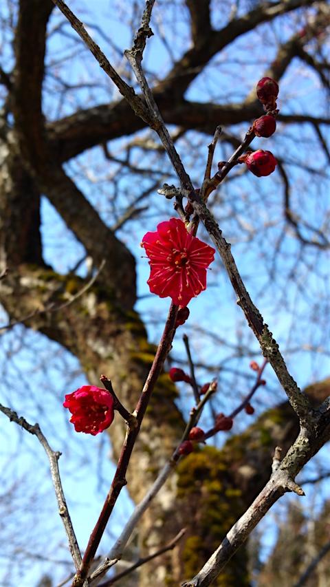 20160312花梅の花1