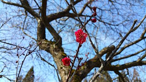 20160312花梅の花2