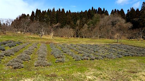 20160312ラベンダー畑の様子2