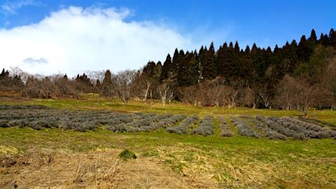 20160312ラベンダー畑の様子3