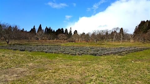 20160312ラベンダー畑の様子4