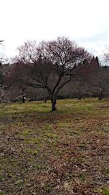 20160320山の様子花梅の木1