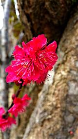 20160320山の様子花梅の花1