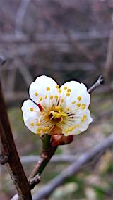 20160320山の様子花梅の花2