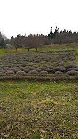 20160320ラベンダーの畑3