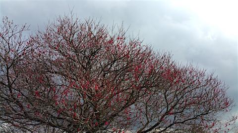 20160320山の様子花梅の木3