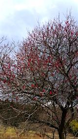 20160320山の様子花梅の木4