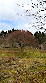 20160320山の様子花梅の木5