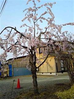 20160416会津の様子八重紅枝垂れ桜の花