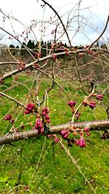 20160414山の様子八重紅枝垂れ桜のつぼみ