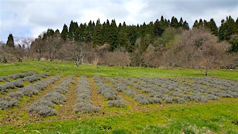 20160414ラベンダー畑の様子1