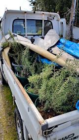 20160414鉢植えのローズマリー