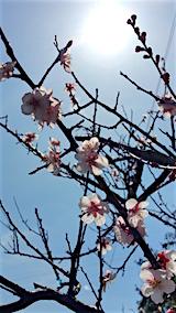 20160414山の入り口の様子梅の花2