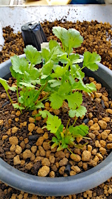 20160414コリアンダーの鉢植え