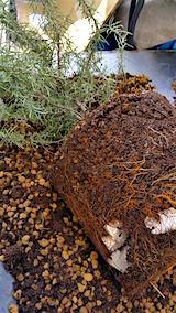 20160414鉢植えのローズマリー土の入れ替え1