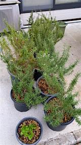 20160414土の入れ替えの済んだ鉢植えのローズマリー1