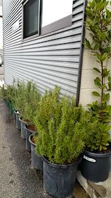 20160414土の入れ替えの済んだ鉢植えのローズマリー3