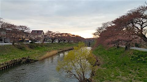 20160414百石橋より太平川沿いの桜を望む1