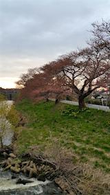 20160414百石橋より太平川沿いの桜を望む3