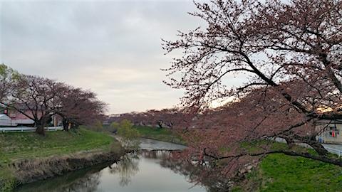 20160414愛宕下橋より太平川沿いの桜を望む2