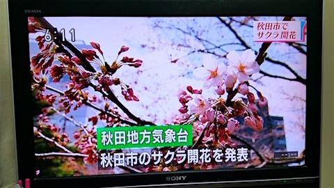 20160414さくら開花発表のニュース