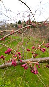 20160416八重紅枝垂れ桜の花芽