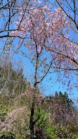 20160424山へ向かう途中の様子枝垂れ桜1