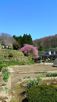 20160424山へ向かう途中の様子枝垂れ桜2