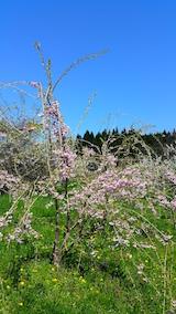 20160424八重紅枝垂れ桜のある斜面の様子2