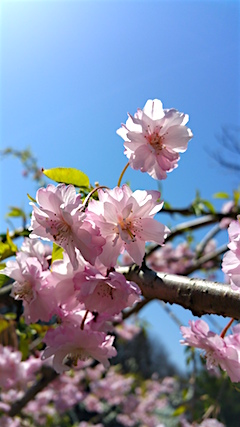 20160424八重紅枝垂れ桜の花