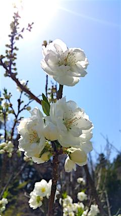 20160424山の様子スモモの花