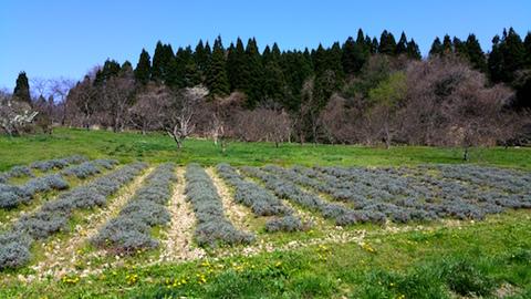 20160424ラベンダー畑の様子