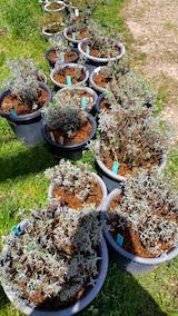 20160424鉢植えの土入替作業2