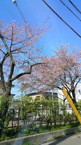20160424山へ向かう途中の様子小学校前の桜