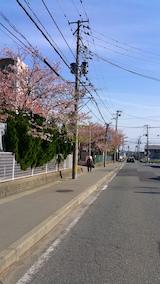 20160424山へ向かう途中の様子中学校前の桜