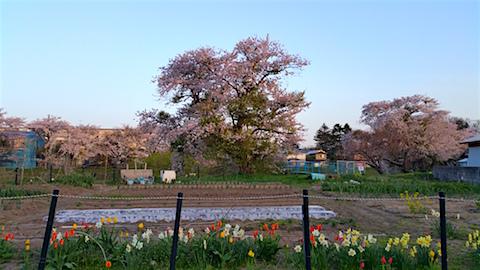 20160424山からの帰り道の様子太平川の桜