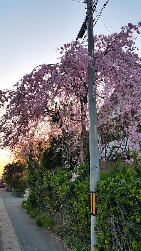 20160424山からの帰り道の様子枝垂れ桜