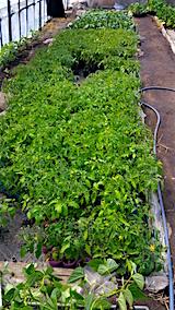 20160505野菜苗
