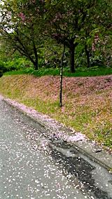 20160512山へ向かう途中の様子八重桜