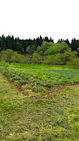 20160512ラベンダーの畑