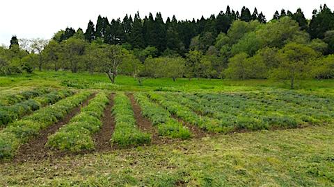 20160512ラベンダー畑の様子草刈り前