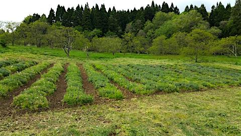 20160512ラベンダー畑の様子草刈り後