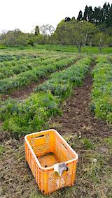 20160512ラベンダー畑の草取り2