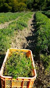 20160513ラベンダー畑の様子草取り中1