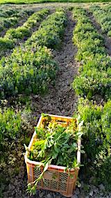 20160514ラベンダー畑の草取り3