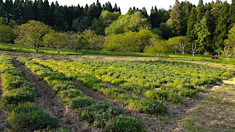 20160514草取り後のラベンダー畑の様子1