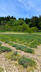 20160515ラベンダーの畑